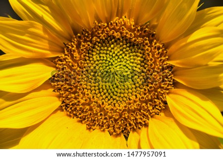 sunflower frame filling as picture background