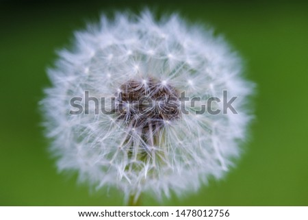 dandelion close-up. Dandelion in the center of the picture, beautiful relaxing background