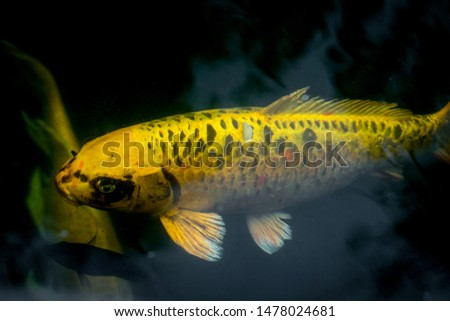 Fancy carp swimming in a pond. Fancy Carps Fish or Koi Swim in Pond, Movement of Swimming and Space. #1478024681