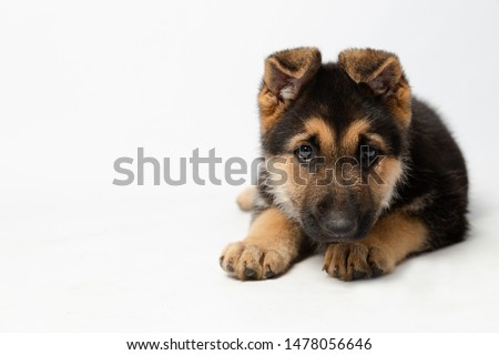 Cute puppy lying in surveillance potion - German shepherd puppy with intrigue expression #1478056646
