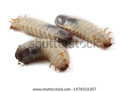 Green rose chafer larva. Useful insect. Larvas improve soil (recycle organics) #1478356307