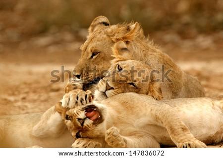 Male Kalahari Lion #147836072