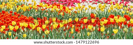 Red tulips, yellow tulips and white tulips flowers blooming in spring garden. #1479122696