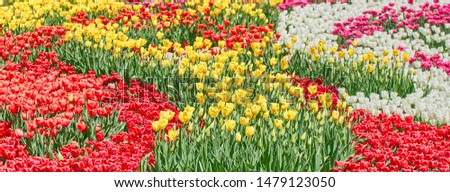 Red tulips, yellow tulips and white tulips flower blooming in spring garden. #1479123050