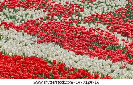 Red tulips and white tulips flower blooming in spring garden. Flowers background. #1479124916