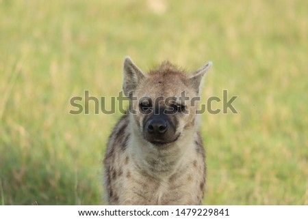 Spotted hyena portait, Masai Mara National Park, Kenya. #1479229841