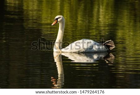 Swan Birds wildlife Animals in summer #1479264176