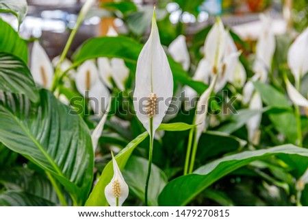 """Spathiphyllum, single leaf, """"Sweet Chico"""" Many white flowers in shop #1479270815"""