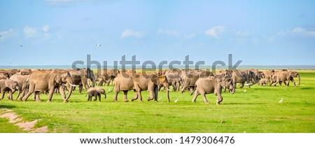 Panoramic  photo of huge herd of an african elephants on green savanna of Amboseli national park. Big tuskers. Wildlife photography in Kenya, Tanzania.
