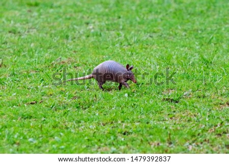 A Central American armadillo walks over a open grassy knoll looking for worms to eat.