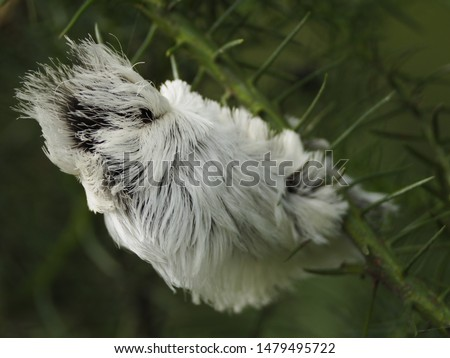 Beautiful and Dangerous White Hairy Caterpillar (Megalopyge opercularis) #1479495722