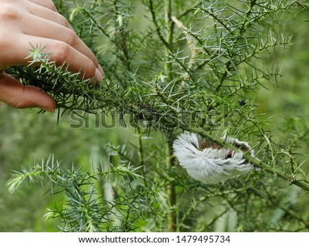 Beautiful and Dangerous White Hairy Caterpillar (Megalopyge opercularis) #1479495734