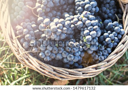 Dark grapes in a basket. Grape harvesting.  Red wine grapes. dark blue grapes, wine grapes in a basket. #1479617132