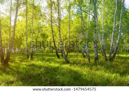 birch forest in spring, tree trunks, background #1479654575