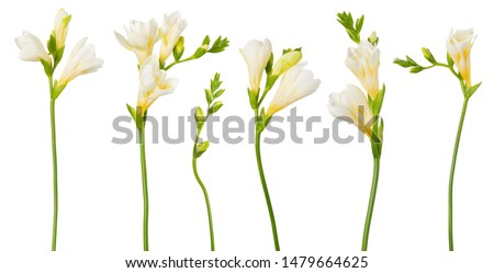 Freesia white flowers set twigs with buds in bloom isolated on white background #1479664625