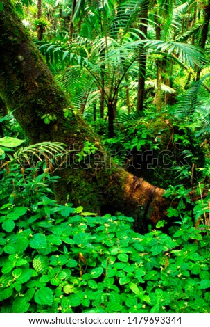 Puerto Rico, El Yunque National Forest, tree trunk, trees, rainforest vegetation #1479693344