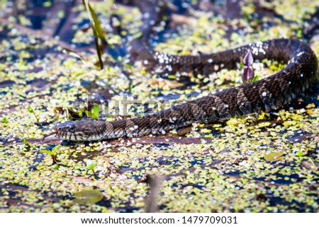 Northern water snake hunting for food Royalty-Free Stock Photo #1479709031