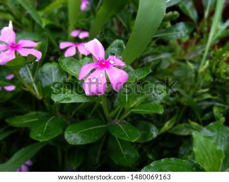the madagascar periwinkle flower blossom #1480069163