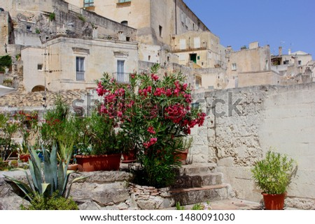 Blooming Nerium Oleander flowers in pots at patio in ancient Sassi neighborhood, Matera, Basilicata, Italy. Cultural Capital of Europe 2019  #1480091030