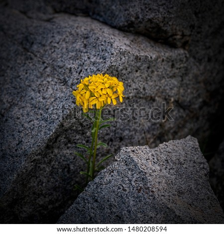 Yellow Brassica flower developing between two rocks in the high Sierra Nevada of California - resilience concept #1480208594