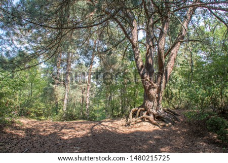 Beautiful sand dune with pine forest in the summer, landscape,  the Netherland #1480215725