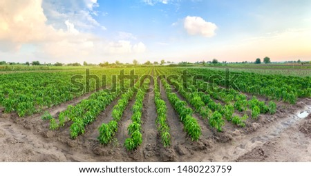 Panoramic photo of a beautiful agricultural view with pepper plantations. Agriculture and farming. Agribusiness. Agro industry. Growing Organic Vegetables #1480223759