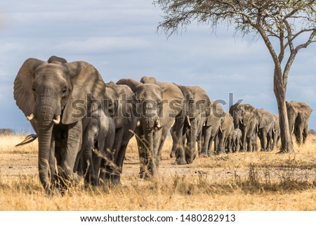 Herd of Elephants in Africa walking through the grass in Tarangire National Park, Tanzania Royalty-Free Stock Photo #1480282913