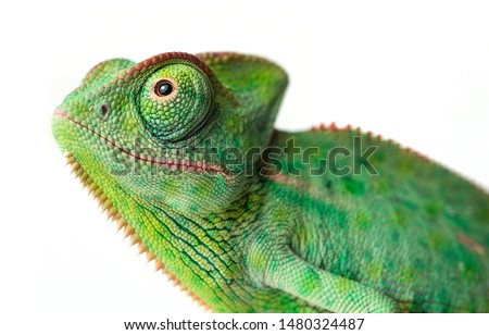 cute funny chameleon - Chamaeleo calyptratus on a branch #1480324487