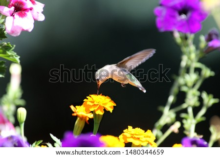 A delightful little Hummingbird takes nourishment from flowers #1480344659