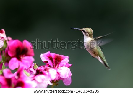 A delightful little Hummingbird takes nourishment from bright pink Geraniums  #1480348205