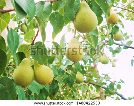 Beautiful natural pears weigh on a pear tree, twigs and leaves. Healthy Organic Pears. Juicy flavorful pears of nature background. Pear on a branch. A pear on a tree (growing). Ripen Pears on the Tree #1480422530