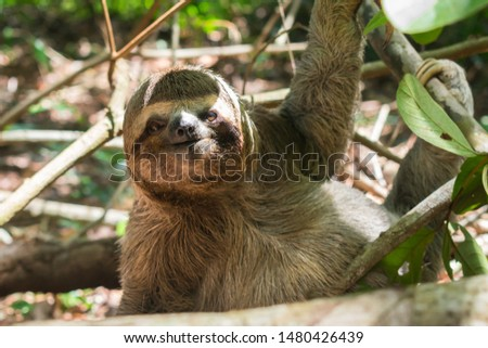 Three toed brown-throated sloth on the ground in the Atlantic forest - Itamaraca island, Pernambuco state, Brazil #1480426439