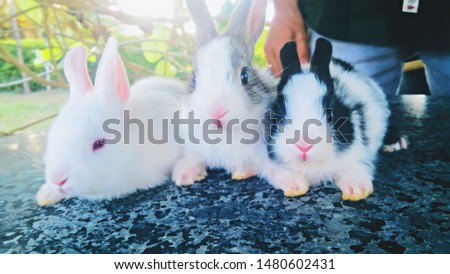Rabbits are small, furry, mammals with long ears, short fluffy tails, and strong, large hind legs. They have 2 pairs of sharp incisors (front teeth), one pair on top and one pair on the bottom.  #1480602431