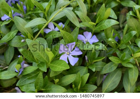 Vinca minor (common names lesser periwinkle, dwarf periwinkle, small periwinkle, common periwinkle) is a species of flowering plant native to central and southern Europe. #1480745897