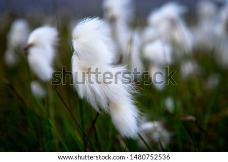 Eriophorum Cotton Grass in Iceland #1480752536
