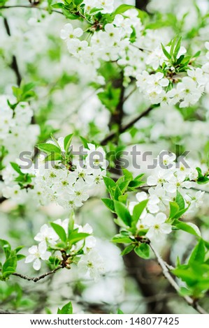 Blossoming of cherry flowers in spring time with green leaves, macro #148077425