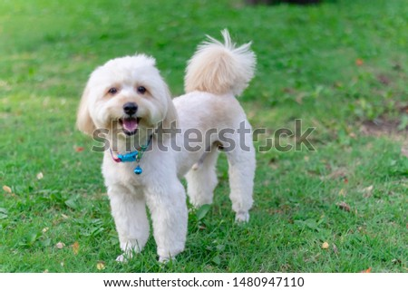 Puppy poodle dog, Cute white poodle dog on green park background, background nature, green, animal, relax pet, puppy poodle dog standing looking
