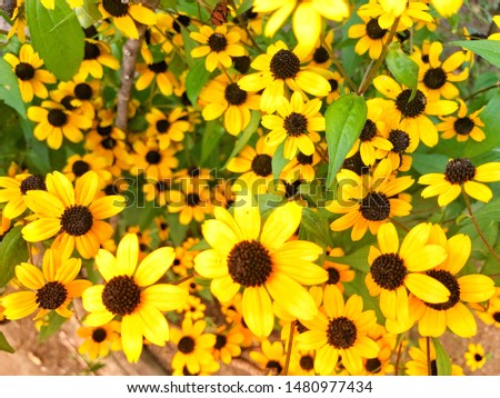 Brightly yellow color of Rudbeckia flower flower in summer. #1480977434