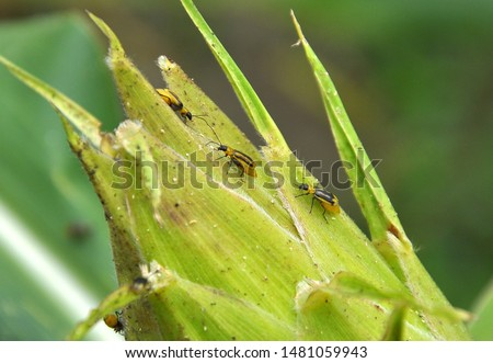 On a corn cob harmful insect - Western corn beetle (Diabrotica virgifera virgifera) Royalty-Free Stock Photo #1481059943