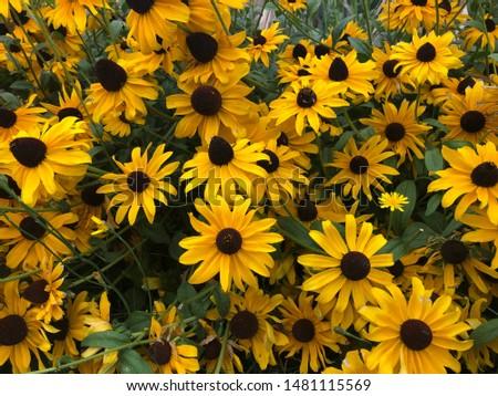 yellow black eyed susan flowers #1481115569