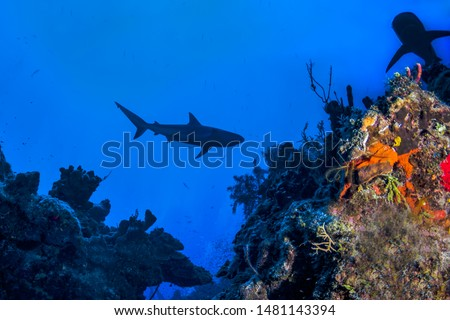 Caribbean Reef Sharks on the prowl for a meal amongst the colorful reefs of the Turks and Caicos Islands. #1481143394