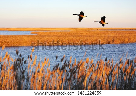 Canada geese in migration at Bombay Hook National Wildlife Refuge, DE #1481224859