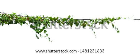 ivy plant isolate on white background #1481231633