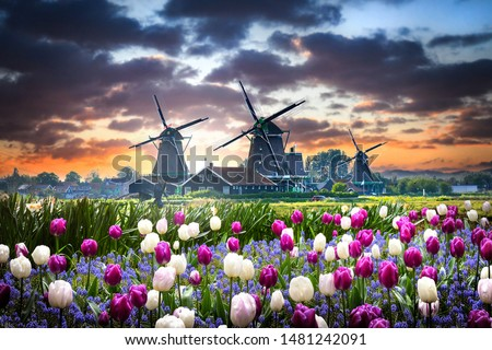 Netherlands landscape with beautifull violet and white tulips flowers. Dutch windmills, water mill houses near the canal in Zaanse Schans postcard.  #1481242091