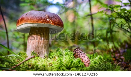 Beautiful boletus edulis mushroom banner in amazing green moss. Old magic forest mushrooms background. White mushroom in sunny day. #1481270216