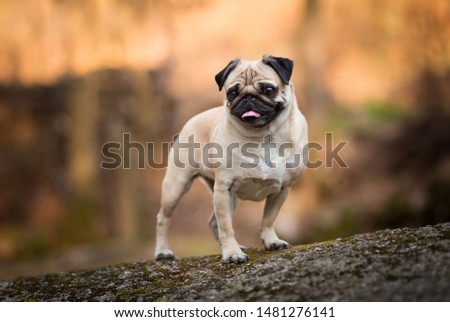 Pug dog portrait in forest