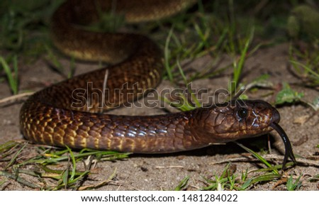Cape Cobra (Naja nivea). A highly venomous snake, with potently neurotoxic venom. Photographed at night, in Cape Town (South Africa). Royalty-Free Stock Photo #1481284022