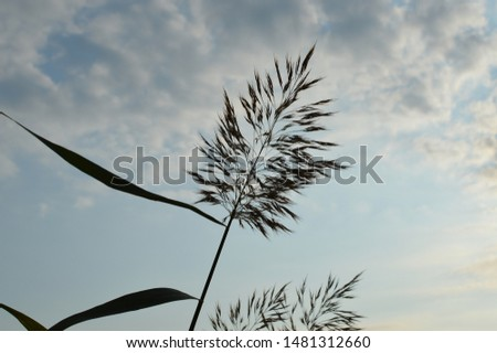 Silhouette of a rush plant or reed against cloudy summer sky with backlighting. Beautiful nature. Photographed in Finland.