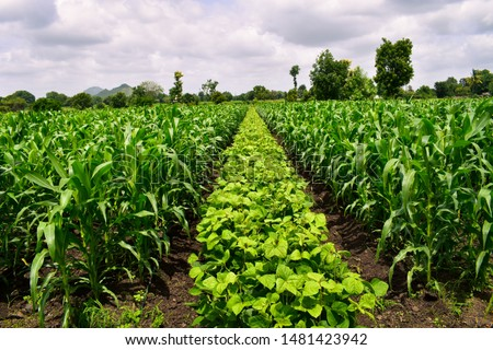 Useful crop rotation in agriculture. maize and Mung bean tree (Vigna radiata). Beautiful farm. Agriculture field. Cultivated field.  Royalty-Free Stock Photo #1481423942