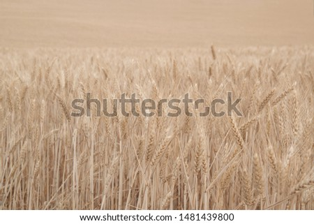 Field of wheat, Harwest of bread wheat , Triticum aestivum, Triticum monococcum #1481439800